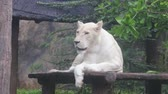 jardim zoológico : The white lion lies on a wooden plate. In the daytime.