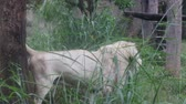 jardim zoológico : The white lion lies in the daytime. Stock Footage