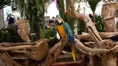 Beautiful macore parrot bird  standing on a wooden 動画素材