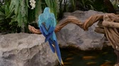 macaw parrot : Beautiful macore parrot bird  standing on a wooden Stock Footage