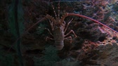crustacean : Lobster  in fish tank