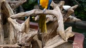 macaw parrot : Macore Bird Hold on tree branch. Beautiful macore Parrot bird standing on a wooden.