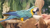 travel cage : Beautiful macore parrot bird  standing on a wooden Stock Footage