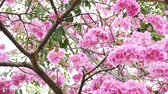 cherry blossom branch : Pink flower and tree branch blur nature background.