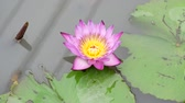 waterlily : A purple lotus is one of the beautiful flower type.