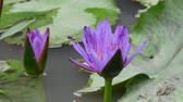лилии : A purple lotus is one of the beautiful flower type.