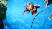 キャンパス : Beautiful fish ( lion fish ) in the aquarium on decoration of aquatic plants background. A colorful fish in fish tank.
