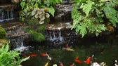 peixe dourado : Golden fish swimming in pond and small waterfall.