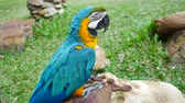 ара : Macore Bird Hold on tree branch. Beautiful macore Parrot bird standing on a stone. Стоковые видеозаписи