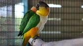 macaw parrot : Beautiful macore Parrot bird standing in large bird cage.