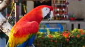 papuga : Beautiful macore parrot bird  standing on a wooden Wideo