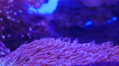 sasanka : Beautiful sea flower in underwater world with corals and fish. Sea flowers moving in fish tank. Dostupné videozáznamy