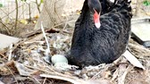 The black goose mother is hatching in the nest.