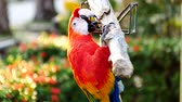 альпинист : Beautiful macaw parrot bird Стоковые видеозаписи
