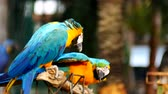 alpinista : Beautiful macaw parrot bird standing on a wooden