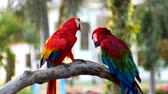 ара : Beautiful macaw parrot bird standing on a wooden