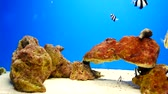 Beautiful fish in the aquarium on decoration  of aquatic plants background. A colorful  fish in fish tank. Dostupné videozáznamy