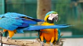 ара : Beautiful macore parrot bird  standing on a wooden Стоковые видеозаписи
