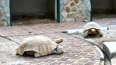 crocodilo : The turtle walks slowly in the zoo. Stock Footage
