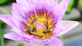 A purple lotus flower and bee. A purple lotus is one of the beautiful flower