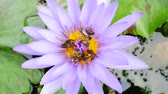 лилии : A purple lotus flower and bee. A purple lotus is one of the beautiful flower