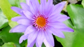 flor de loto : A purple lotus flower and bee. A purple lotus is one of the beautiful flower