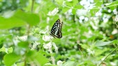 percevejo : Butterfly on tree leaf and flower green nature  background. Vídeos