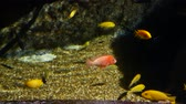Beautiful fish in the aquarium on decoration of aquatic plants background. A col