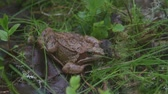 жаба : Frog on the ground in the grass. Slow motion