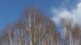 witch hazel : Birch or Betula trees against a blue sky. Stock Footage