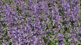 close up : Nepeta cataria catmint or flowers.