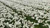 close up : Field of Narcissus in Bloemendaal lying in the bulb region of the Netherlands, near the Keukenhof. Stock Footage