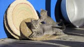 progeny : Kitten playing with its mother cat Stock Footage
