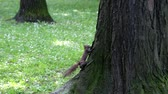se movendo para cima : Red squirrel climbing on the tree in park