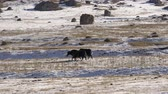 vacas : Yak in the mountains in winter