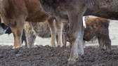 concime : Legs of cows in the mud