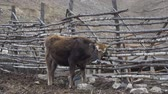 boynuzlu : Cow scratching on the fence