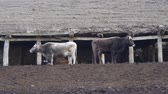 посылка : Cows in the old stable in the mountains