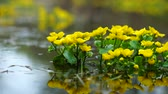 blooming : Caltha palustris flowers in water Stock Footage