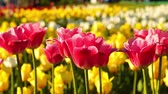 plantation : Pink and yellow tulips in evening sun Stock Footage