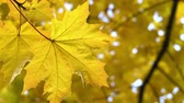Autumn maple leaf on the tree Stock Footage