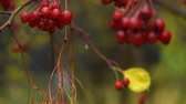 Wet ripe ashberry in autumn