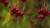 sloppy : Ripe rowanberry after cold autumn rain