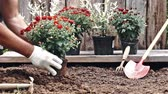 krizantem : Male hands in protective gloves planting a bush of a red chrysanthemum into the earth. Slow motion Stok Video