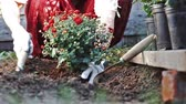 hoe : Female hands in protective gloves planting a bush of a red chrysanthemum into the earth. Slow motion