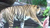 besta : tiger walking and Do not care about food in the zoo, 4k video footage