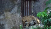 tehlikede : tiger eating meat in the zoo ,lying in the nature habitat, The big cat beautiful animal and very dangerous, 4k video footage