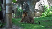 realeza : An adult Tiger Turning Head and Looking lying in the nature habitat, The big cat beautiful animal and very dangerous