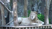 грива : 2 big lions lying wooden ground ,Looking for something in the zoo,The beautiful animal and the biggest cat of the world