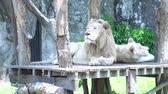 ищу : 2 big lions lying wooden ground ,Looking for something in the zoo,The beautiful animal and the biggest cat of the world